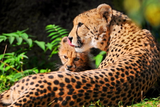 Cheetah - Obrázkek zdarma pro 1600x1200