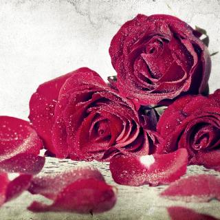 Roses Fresh Dew - Obrázkek zdarma pro iPad mini