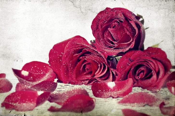 Roses Fresh Dew wallpaper