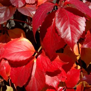 Crimson autumn foliage macro - Obrázkek zdarma pro iPad
