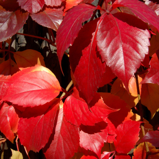 Crimson autumn foliage macro - Obrázkek zdarma pro iPad mini 2