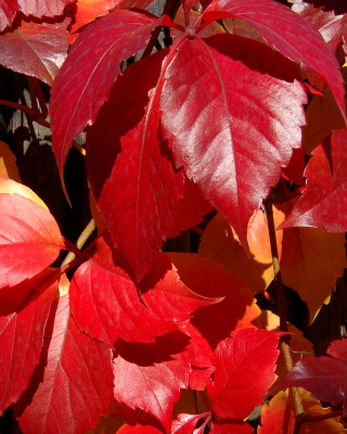 Crimson autumn foliage macro - Obrázkek zdarma pro Nokia X3-02
