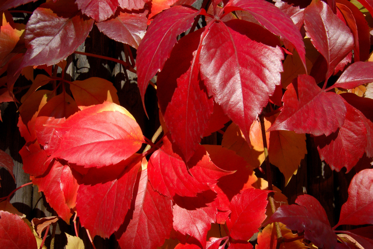 Crimson autumn foliage macro wallpaper