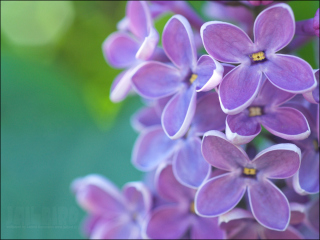 Lilac Picture for Android, iPhone and iPad