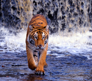 Tiger In Front Of Waterfall - Obrázkek zdarma pro 208x208