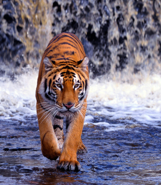 Tiger In Front Of Waterfall - Obrázkek zdarma pro 360x400