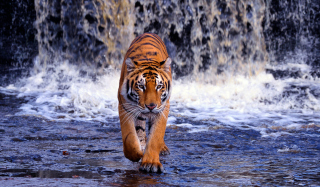 Tiger In Front Of Waterfall - Obrázkek zdarma