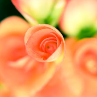 Roses - Obrázkek zdarma pro iPad mini