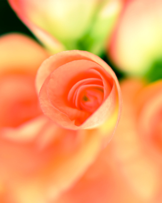 Roses - Obrázkek zdarma pro Nokia C6-01