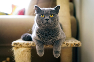 British Shorthair Domestic Cat - Obrázkek zdarma pro Widescreen Desktop PC 1920x1080 Full HD