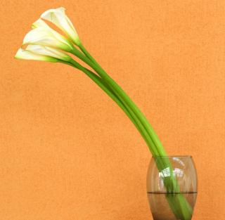 Calla Lily - Obrázkek zdarma pro 1024x1024