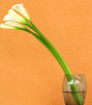 Calla Lily - Obrázkek zdarma pro 480x640