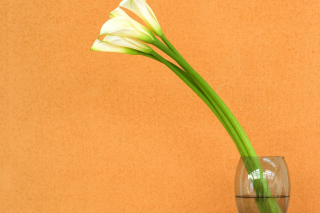 Calla Lily - Obrázkek zdarma pro Nokia Asha 200