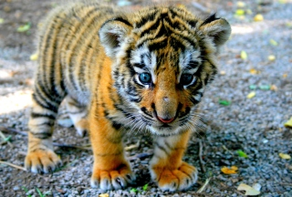 Cute Tiger Cub Background for Android, iPhone and iPad