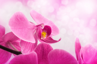Pink Petals Wallpaper for Android, iPhone and iPad