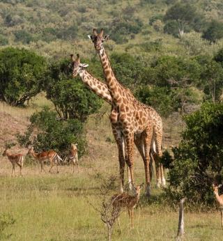 Giraffes At Safari - Obrázkek zdarma pro 320x320