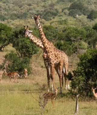 Giraffes At Safari - Obrázkek zdarma pro Nokia X2