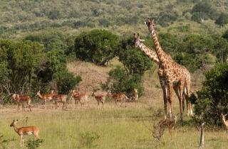 Giraffes At Safari - Obrázkek zdarma pro Desktop Netbook 1024x600
