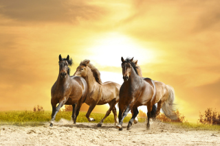 Horse Gait Gallop Picture for Android, iPhone and iPad