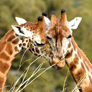 Giraffe Love - Obrázkek zdarma pro 320x320