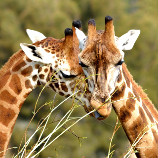 Giraffe Love - Obrázkek zdarma pro iPad
