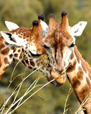 Giraffe Love - Obrázkek zdarma pro 132x176
