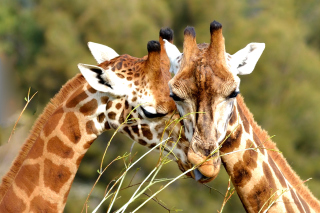 Giraffe Love Background for Android, iPhone and iPad