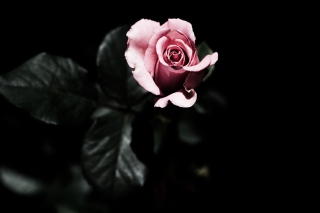 Pink Rose In The Dark Picture for Android, iPhone and iPad