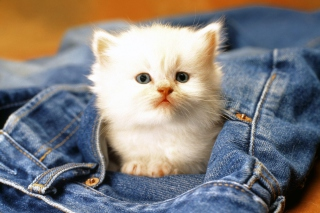 Kitten In Jeans Wallpaper for Android, iPhone and iPad