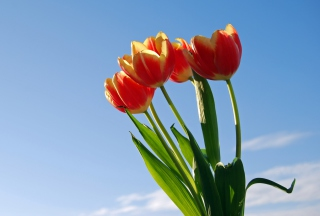 Tulips Bloom Picture for Android, iPhone and iPad