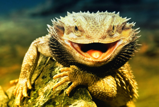 Lizard Dragon - Obrázkek zdarma pro Nokia Asha 200