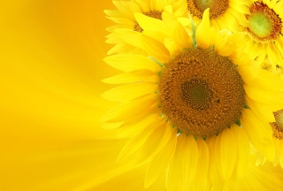 Sunflowers Wallpaper for Android, iPhone and iPad