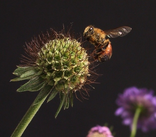 Bee And Flower - Obrázkek zdarma pro 1024x1024