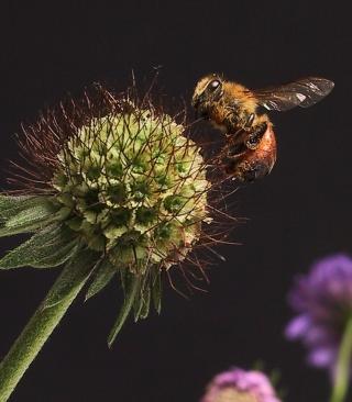 Bee And Flower - Obrázkek zdarma pro 320x480