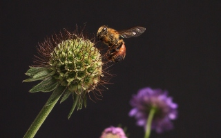 Free Bee And Flower Picture for Android, iPhone and iPad