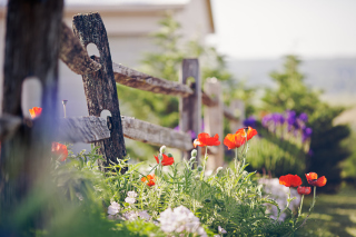 Poppy Flowers And Old Fence Wallpaper for Android, iPhone and iPad