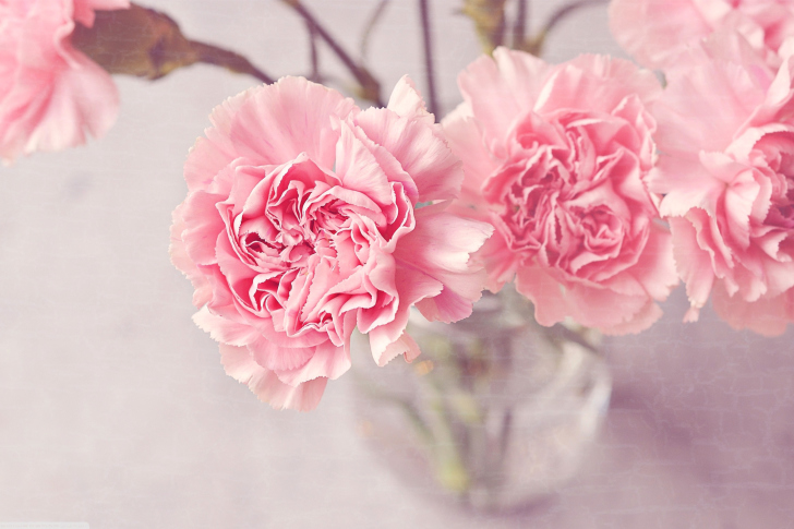 Pink Carnations wallpaper