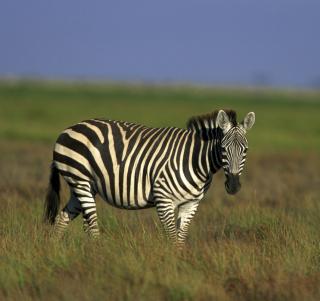 Zebra In The Field - Obrázkek zdarma pro 320x320