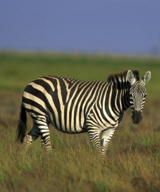 Zebra In The Field - Obrázkek zdarma pro iPhone 5C
