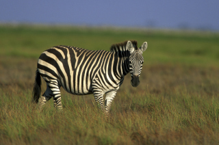 Zebra In The Field - Obrázkek zdarma pro Nokia Asha 210