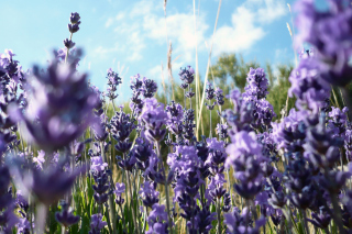 Free Lavender Fields - Milton, Delaware Picture for Android, iPhone and iPad