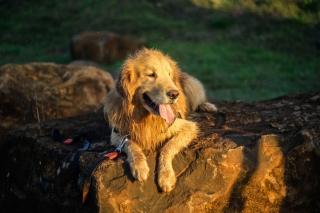 Labrador - Obrázkek zdarma pro 320x240