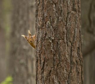 Squirrel Hiding Behind Tree - Obrázkek zdarma pro 128x128