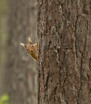 Squirrel Hiding Behind Tree - Obrázkek zdarma pro Nokia C5-06