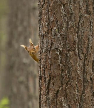 Squirrel Hiding Behind Tree - Obrázkek zdarma pro Nokia X6