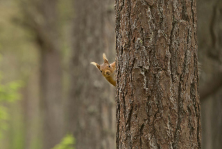 Squirrel Hiding Behind Tree Picture for Android, iPhone and iPad