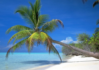 Maldives Palm Wallpaper for Android, iPhone and iPad