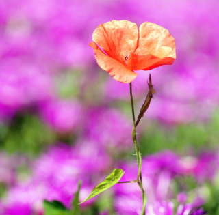 Red Poppy On Purple Background - Obrázkek zdarma pro iPad Air