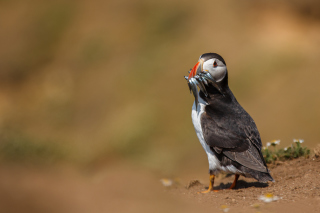 Free Puffin With Fish Picture for Android, iPhone and iPad