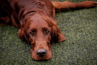 Irish Setter Wallpaper for Android, iPhone and iPad